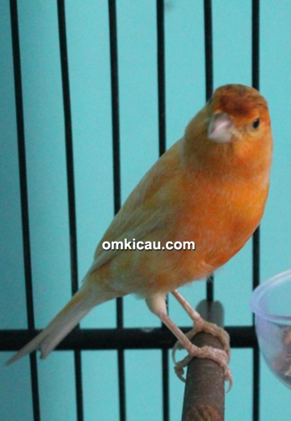 CBCL Canary - Kenari Rawit