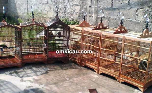 cucak cungkok di Aviary Jaya