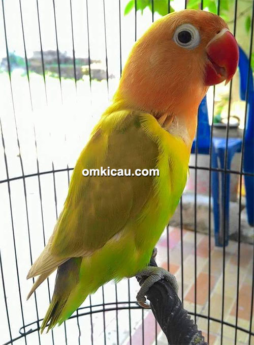 Lovebird Novitha