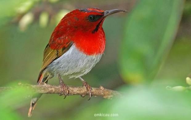 Burung-madu ekor-merah