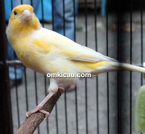 Kenari The Yellow