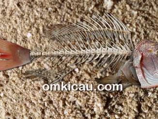 Limbah tulang ikan bisa dimanfaatkan sebagai pakan sumber kalsium untuk burung peliharaan