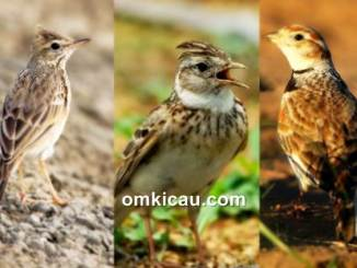 Tiga kerabat burung branjangan yang punya banyak penggemarnya