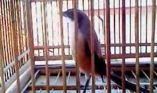 mengatasi burung cendet yang gemar melantai