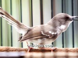 Burung ciblek dada putih (daput) yang semakin digemari
