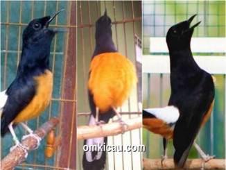 Beberapa jenis burung murai batu