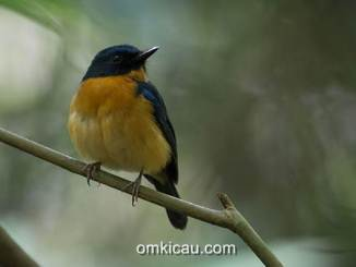 Sikatan-bakau sulawesi (Cyornis omissus)