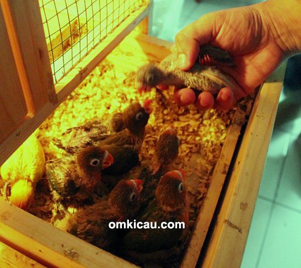 Breeding lovebird Posh3 BF Jakarta