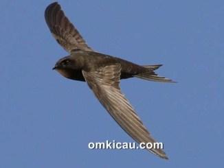 Burung common swift yang dapat terbang nonstop selama 10 bulan tanpa mendarat