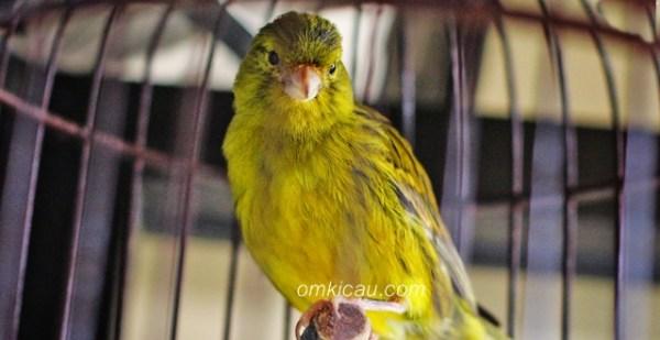 mengatasi serak pada burung
