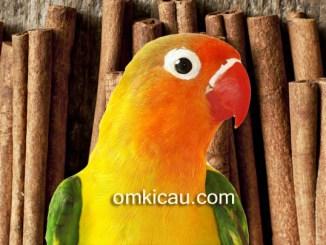 Manfaat kayu manis untuk burung lovebird