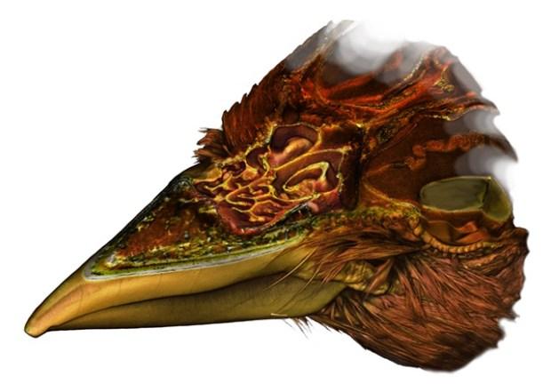 Gambar conchae dalam rongga hidung burung gereja yang didapatkan dari rekonstruksi 3D CT scan.