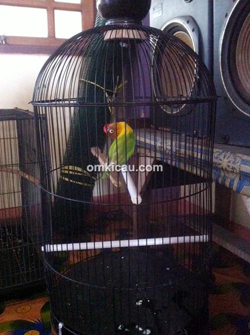 Lovebird Kanjeng Dimas