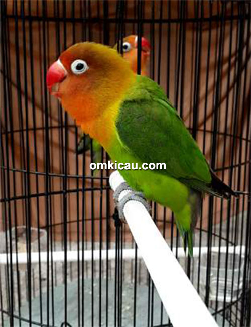 Lovebird Sekar Ayoe