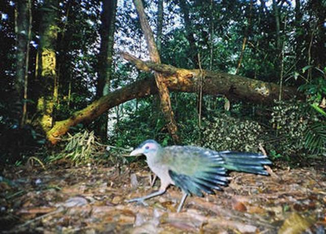 Foto dokumentasi burung tokhtor sumatera