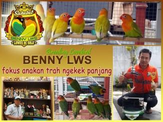Breeding lovebird Benny LWS Solo