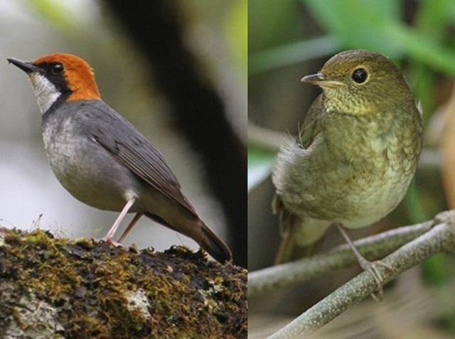 Rofous-headed robin jantan (kiri) dan betina yang dapat dibedakan dari penampilannya