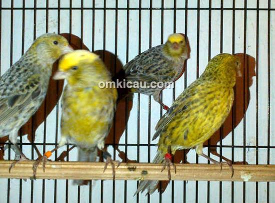 Nano Canary
