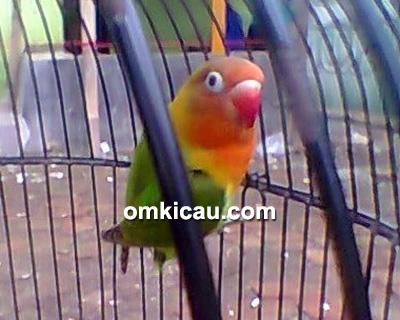 Lovebird Lonte
