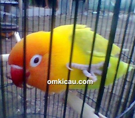 Lovebird Pirlo