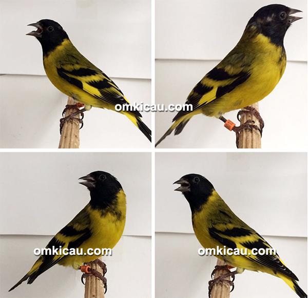 Burung barbata siskin