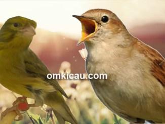 Kenari dengan isian nightingale cukup diminati kicaumania