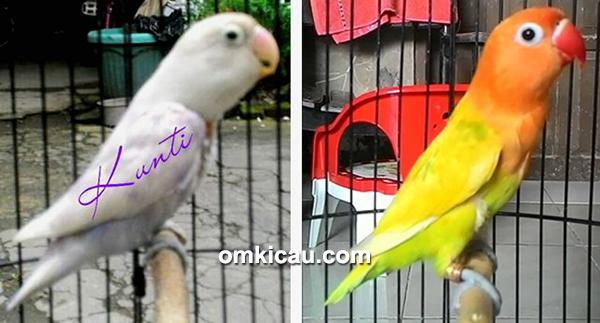 Lovebird Kunti dan Crystal milik Om Arief ASBF