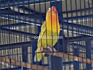 Lovebird New Depe