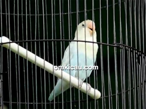Lovebird Mbah Marijan