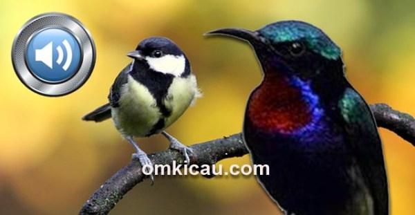 Suara Burung Kolibri Wulung Om Kicau Suara