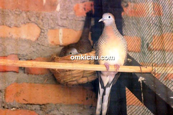 desa penangkar burung