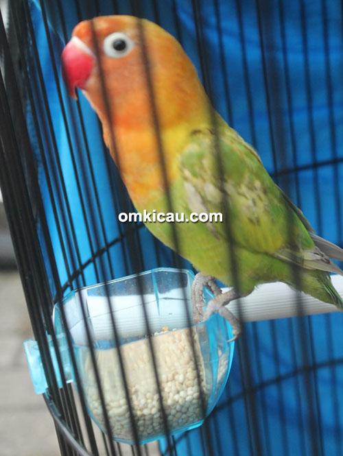 Lovebird Ayang Akoh