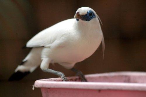 gambar burung jalak bali jantan
