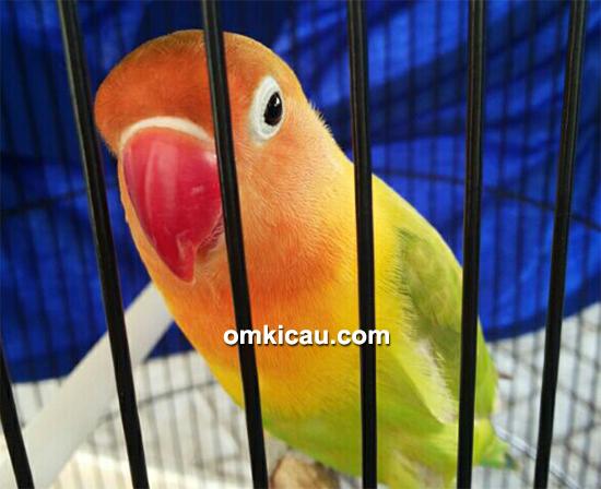 Lovebird Cimot