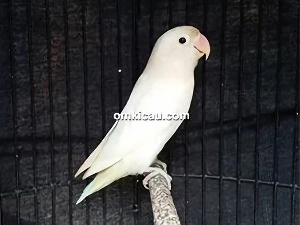Lovebird Listrik