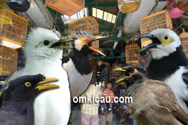 Harga burung jalak terbaru Juli 2017