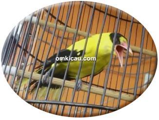 burung kepodang rajin bunyi