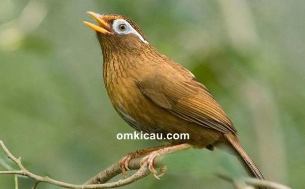 suara burung hwamei