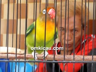 Lovebird Mourinho