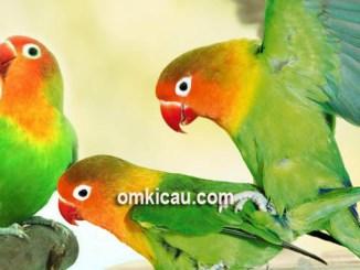 Dua tipe suara lovebird untuk pancingan