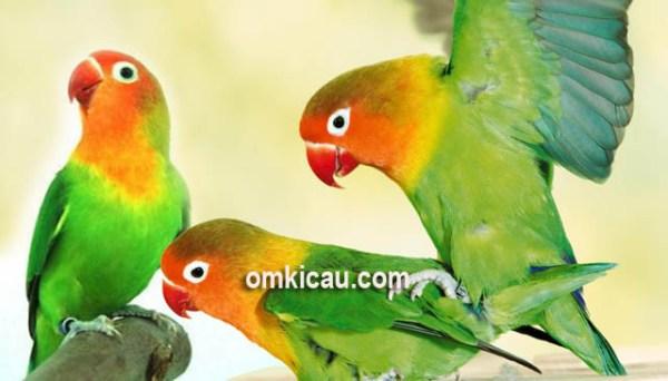 Suara standar burung lovebird