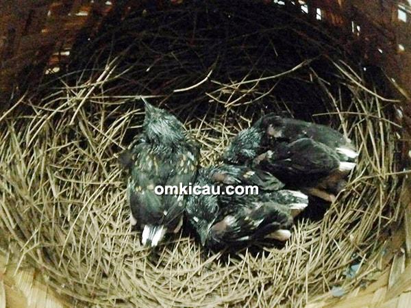 Sertifikat dan ring anakan murai batu hasil breeding RS BF Jakarta