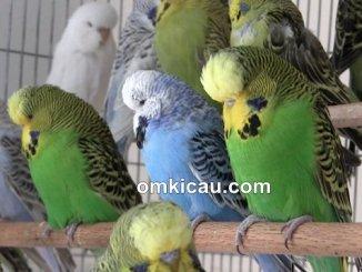 Burung parkit yang mempunyai warna cenderung hijau