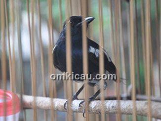 burung jinak berubah jadi liar