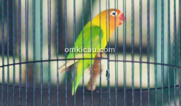 tips perawatan lovebird