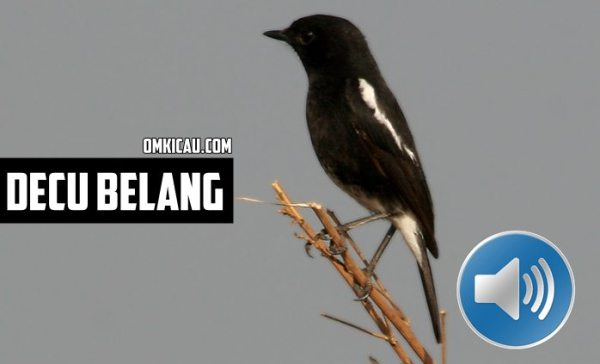 Perawatan burung decu bakalan
