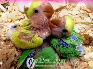 Meningkatkan pertumbuhan anakan lovebird dengan pakan kering