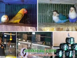 penangkaran lovebird Clourit Bird Farm
