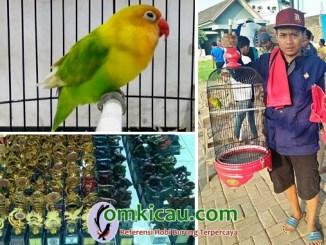 lovebird Jolong