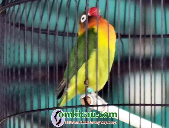 lovebird Brodin